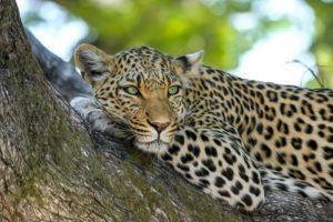 Leopard | FAIR Study