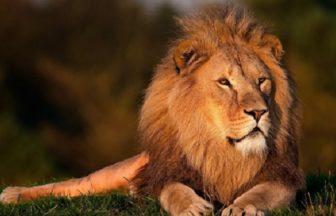 Lion | FAIR Study