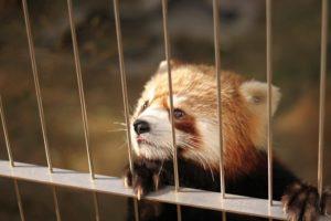 Red Panda | FAIR Study